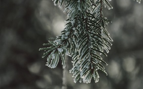 Picture winter, snow, spruce