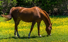 Wallpaper flowers, grazing, in the meadow, greens, dandelions, yellow, summer, the sun, grass, horse