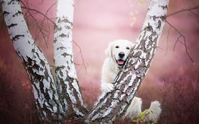 Picture trees, dog, birch, Golden Retriever, Golden Retriever
