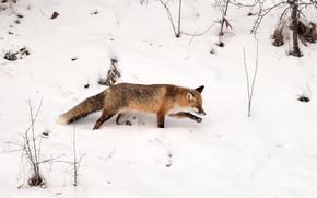 Picture winter, wildlife, fox, tracking, snowing, hunting