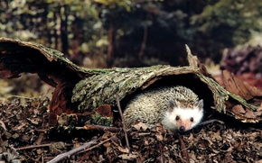 Picture forest, leaves, earth, hedgehog, bark, wood
