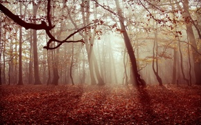 Picture autumn, forest, leaves, nature, fog