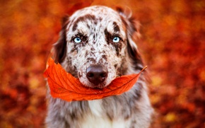 Picture autumn, eyes, look, face, branches, background, paint, foliage, leaf, portrait, dog, bright, blurry, blue-eyed, Australian …