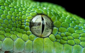 Picture eyes, green, Python