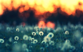 Wallpaper summer, nature, background, Wallpaper, glade, plants, the evening, grass, dandelions