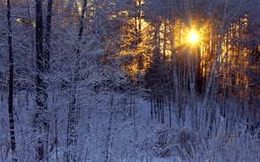 Picture winter, frost, forest, the sun, rays, birch