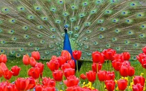 Wallpaper flowers, bird, tail, tulips, peacock