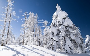 Picture winter, snow, trees, spruce, slope