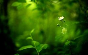 Picture greens, white, flower, blur
