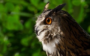 Picture owl, bird, portrait, profile, owl