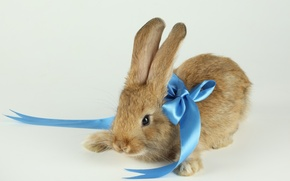 Wallpaper rabbit, blue, background, ribbon