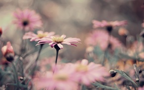 Picture pink, flowerbed, a lot, chrysanthemum