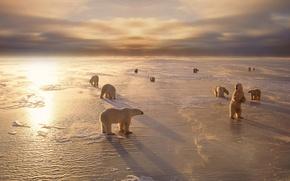 Wallpaper animals, winter, cold, snow, North, bears, white