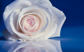 Picture reflection, tenderness, rose, petals, Bud