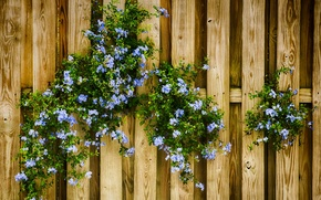 Picture flowers, the fence, blue