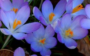 Picture macro, nature, petals, Krokus