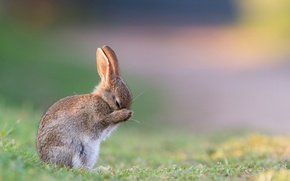 Picture summer, grass, morning, hare