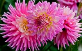 Picture Wallpaper from lolita777, dahlias, petals, pink, flowers