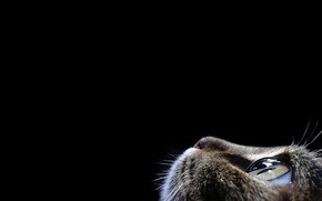 Wallpaper cat, face, black background