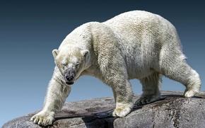 Picture stones, polar bear, zoo