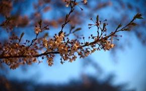 Picture macro, nature, sprig, Sakura, zvetiki