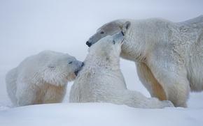 Picture winter, snow, bears, Alaska, polar bears, polar bears