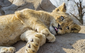 Picture language, cat, look, stone, cub, lion, ©Tambako The Jaguar