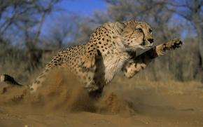 Wallpaper predator, Cheetah, jump