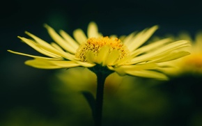 Picture flower, yellow, petals