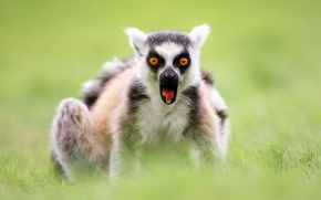 Wallpaper fright, surprise, A ring-tailed lemur, Katta