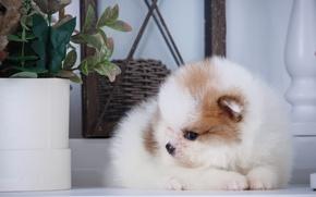 Picture fluffy, puppy, profile, Spitz