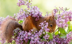 Picture branches, animal, protein, lilac, rodent