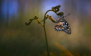 Picture macro, butterfly, plant, Wallpaper from lolita777