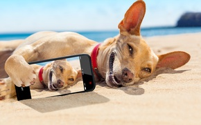 Picture sea, beach, the sun, smile, stay, humor, lies, on the sand, the, tans, smartphone, Chihuahua