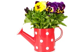 Picture flowers, lake, Pansy, yellow, garden, violet, white background, Viola