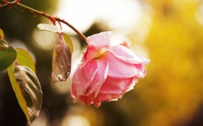 Wallpaper flower, macro, rose