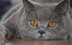 Picture eyes, cat, look, face, British, British Shorthair