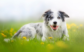 Picture nature, glade, portrait, dog, meadow, dandelions, Wallpaper from lolita777, Aussie