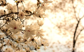 Wallpaper flowers, background, nature, branch, white, flowering, Magnolia, branches, spring