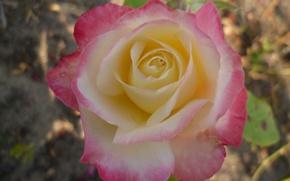 Picture Flower, Belarus, Macro, Autumn, Rose, Garden