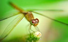 Picture plant, dragonfly, blur, insect