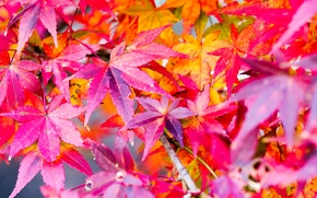 Picture maple, paint, autumn, leaves, nature
