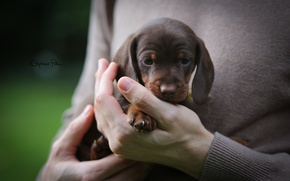 Picture dog, hands, puppy