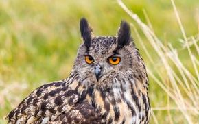 Wallpaper portrait, look, predator, Bubo Bubo, Eurasian Eagle Owl, owl, bird, eagle owl