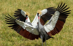 Picture nature, bird, Grey Crowned Cranes