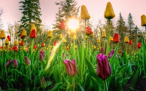 Picture the sky, the sun, rays, trees, sunset, flowers, tulips