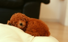 Picture dog, sleeping, puppy curly