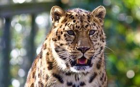Picture language, mustache, look, face, leopard