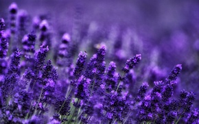 Picture stems, bees, lavender, bokeh