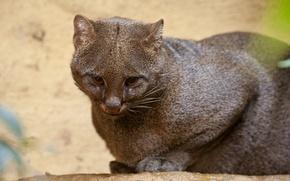 Picture cat, look, yaguarundi